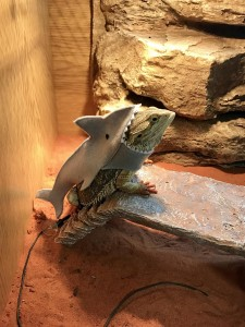 Gerard the bearded dragon dressed as a shark
